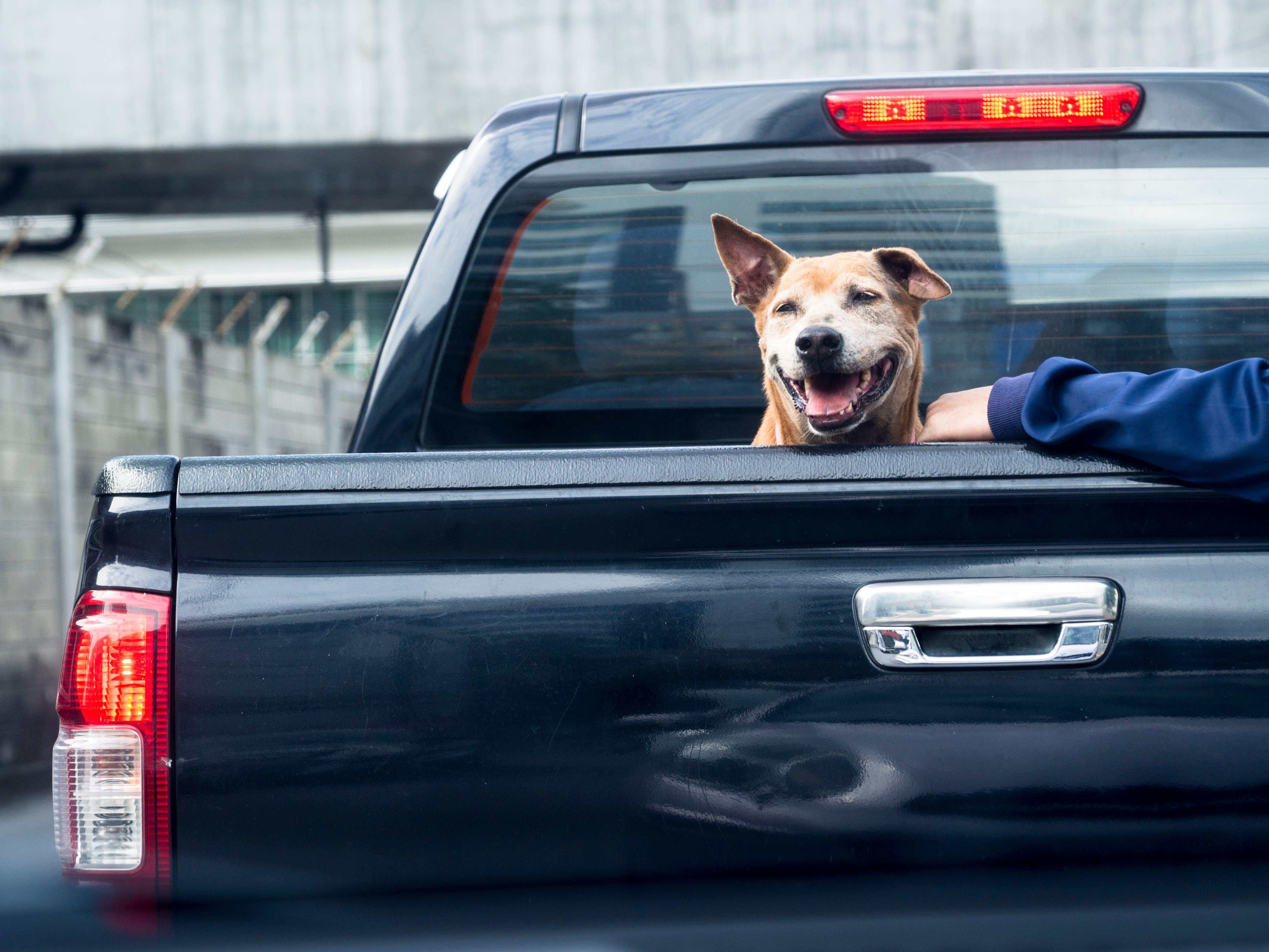 dog-on-black-pick-truck-back